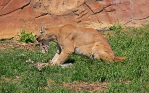 A successful mountain lion catches its prey